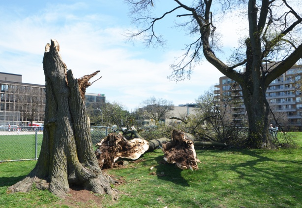 large sections of an old tree lie on the ground where they fell during a wind storm. They landed on a chain link fence that is now broken. in a park .