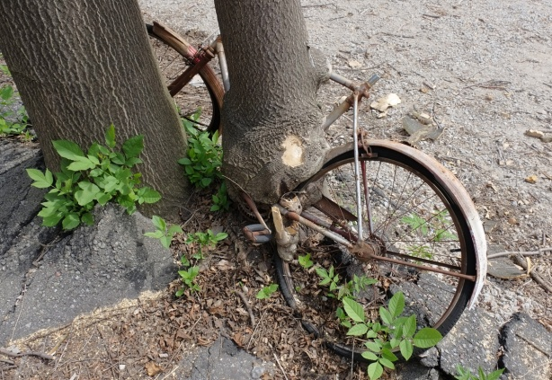 an old bike that had been left beside a tree, over the years the tree has grown around the pedals and gears of the bike