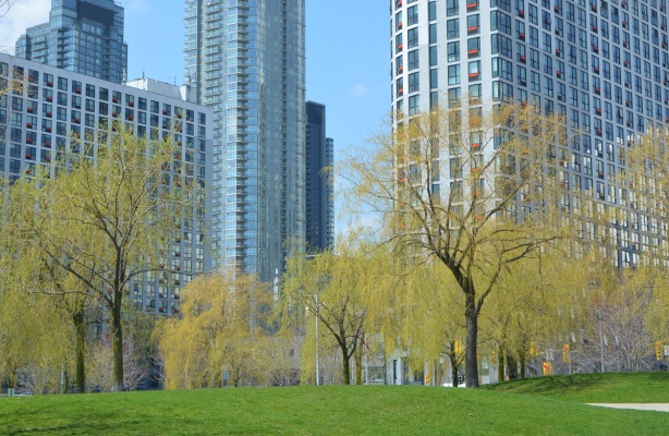 a park with green grass, trees just beginning to bud, in front of a number of glass and steel condo towers in downtown Toronto . willow trees and other kinds of trees.