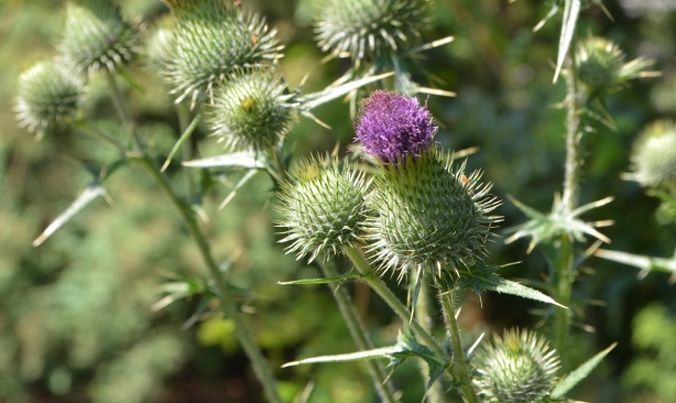thistles, close up of flower part of thistle, one purple flower