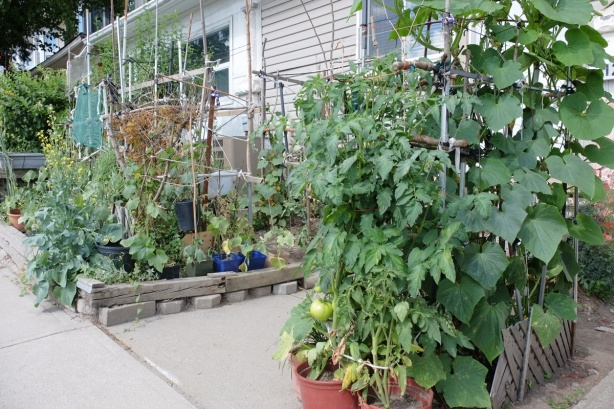 small front yard packed full of vegetable plants looking very green and healthy