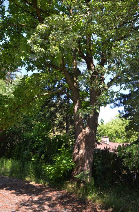 a large mature broadleaf tree in summer, green