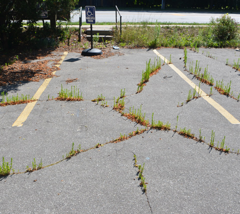 weeds growing out of cracks in the pavement of a parking lot, handicapped parking sign still there.