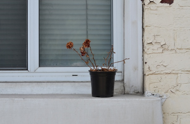 outside a window with white window frame, on beige house, a plant pot with dead roses