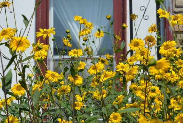 many tall yellow flowering plants in the front yard of a white house
