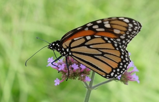 close up photo of a monarch butterfly on a pink flower