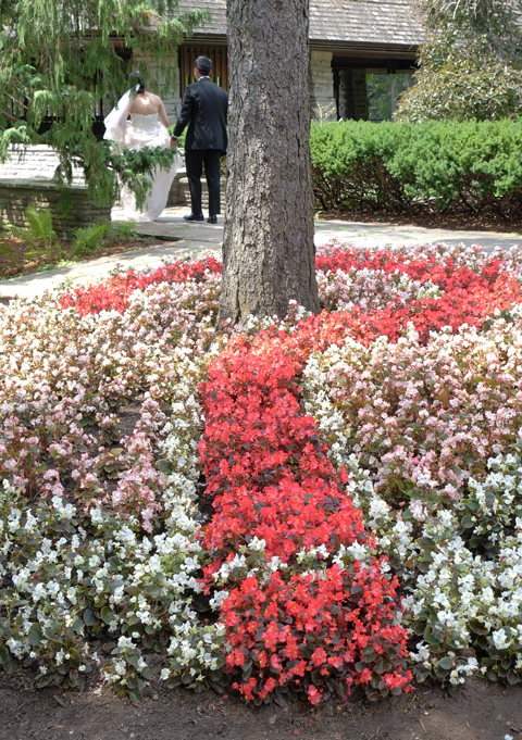 a bed of flowers in a garden, red and white begonias. The red flowers make the shape of a question mark. In the background are a bride in a white dress and a groom having their wedding photos taken.