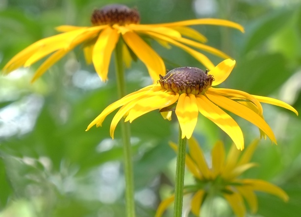 close up photo of two yellow flowers with dark brown centers, from the side