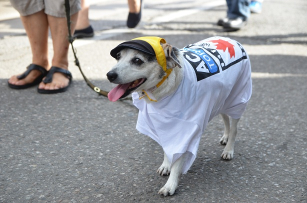 labour Day parade on Queen St West, small dog on a leach with an actra T-shirt on