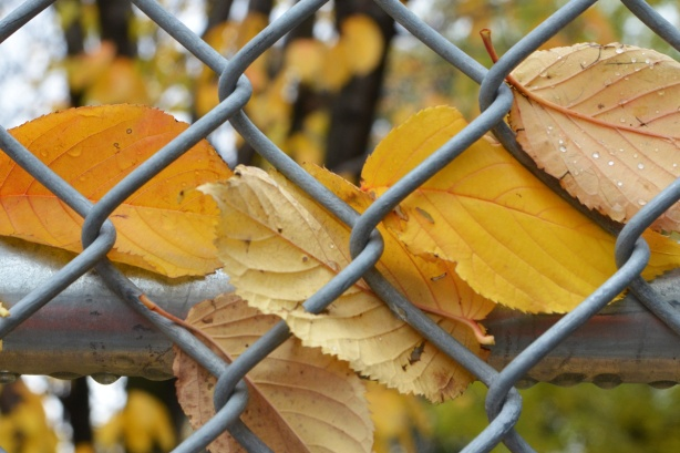a few yellow and pale orange leaves have been caught in a chainlink fence, close up shot