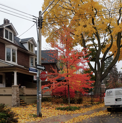 colourful leaves, red and yellow leaves on trees in a residential neighbourhood, Neepawa Street