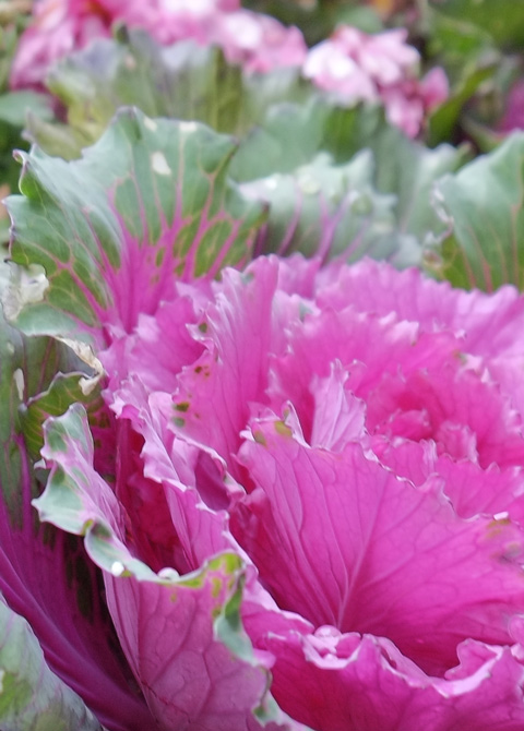 pink and green cabbage like plant