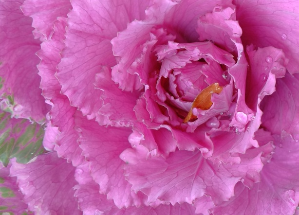 close up of the center of a pink flower