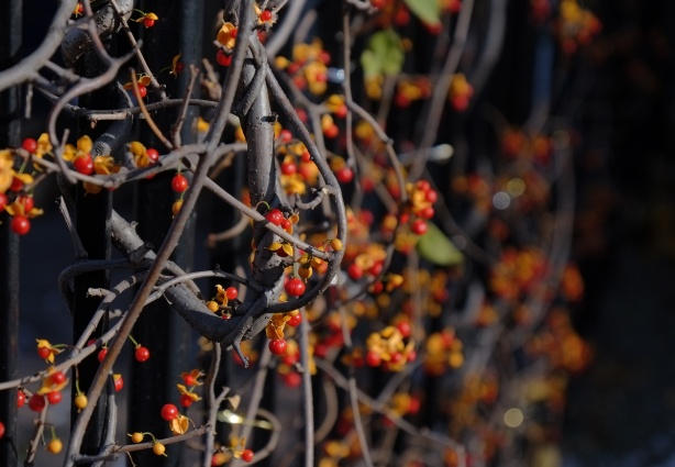 orange and red berries on vines, black background.