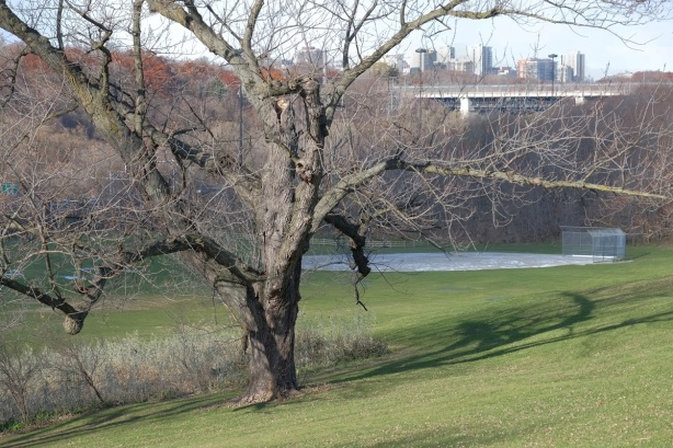 tree in Riverdale Park, November, Bloor Viaduct in the background, also some highrise buildings
