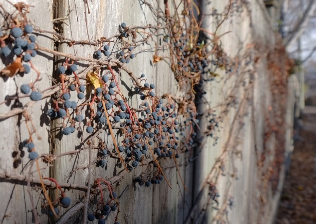 blue berries on vines, no leaves, on a wood fence