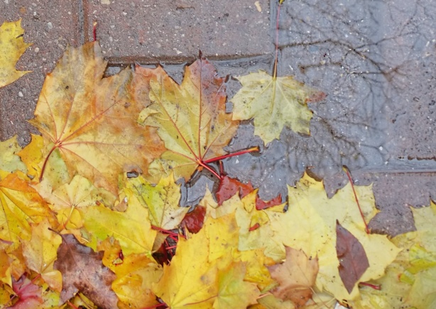 wet yellow leaves on the ground in a small puddle, reflection of tree branches in the puddle
