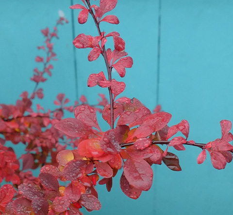 red leaves of a plant, wet from the rain, in front of a bright turquoise wall