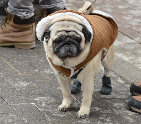 a pug wearing a sheep skin lined jacket