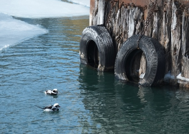 two long tailed ducks swimming in a patch of open water onLake Ontario, ice on lake in the background, two tires at the end of a dock are also in the picture