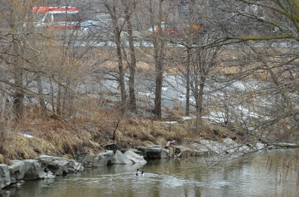 two ducks swimming in the Don River, with cars passing by on the Don Valley Parkway