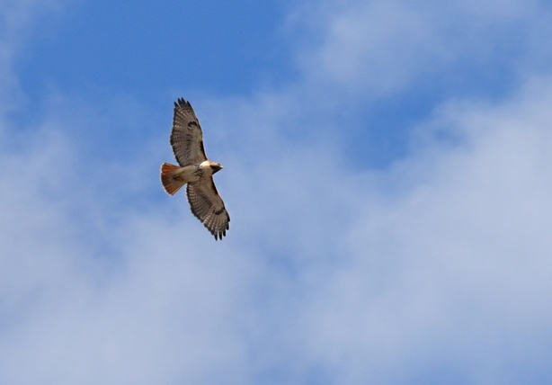 a red tailed hawk flies overhead, blue sky with some light clouds