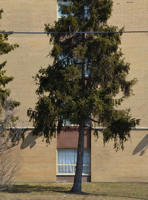 pine tree growing in front of a brick building