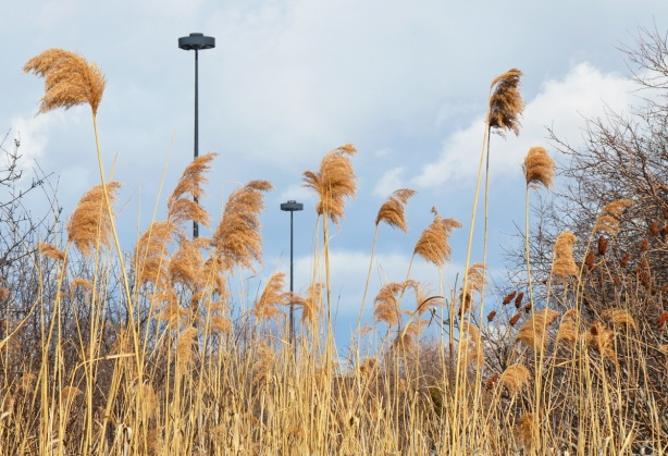 wild grasses, brown in winter, grow alongside the Don Valley Parkway