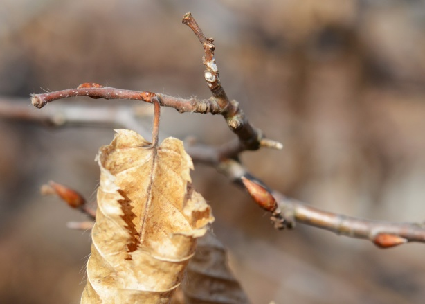 one dead leaf on a small branch that has need buds, spring time