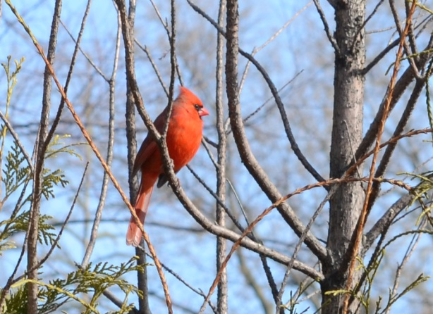 a red male cardinal perched on a branch with no leaves, early spring