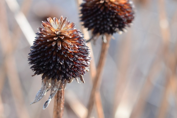 two dead conehead flowers, just brown prickly cone shaped part at the top, on tall dead brown stems,
