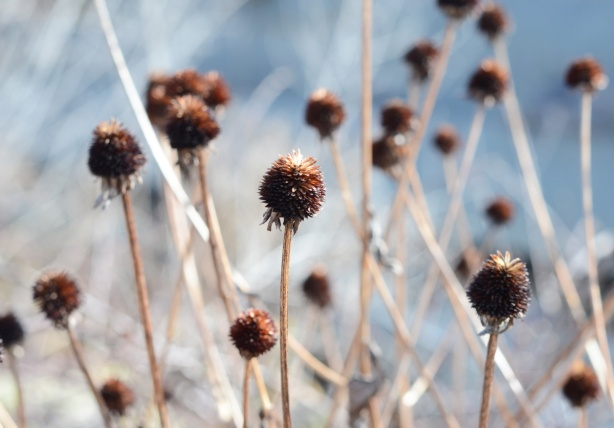 many dead plants with prickly cone shaped heads and stems, macro shot, those in front in focus, many out of focus in the background