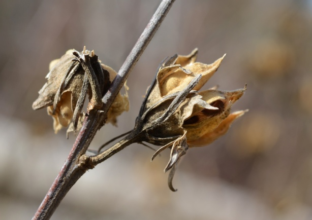 dead seed pods on dead stems, flowering shrub type of plant
