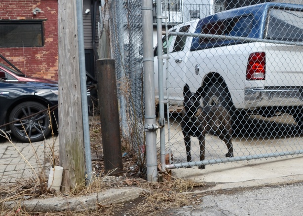 a medium sized black dog stands behind a chain link fence beside a white pickup truck