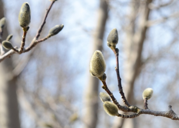 new buds on a tree, fuzzy greenish brown