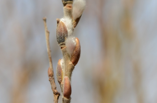 pussy willows on a branch, just opening up