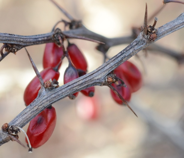 close up picture of small red berries on a thorny stem
