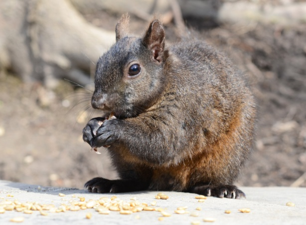 a brown and grey squirrel sits on a stone ledge eating seeds