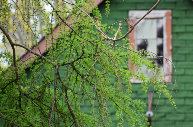 new leaves on a tree in the foreground, top part of a house in the background - bright green walls and old window