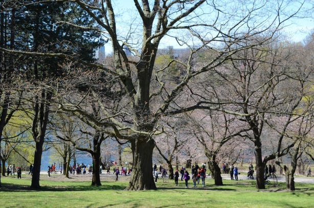 large trees in the park, people walking on the path on the other side of the trees, green grass, shadows, some blossoms on a couple of the trees