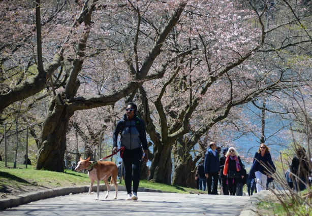 a black person walks a dog on a leash up a hill on a paved path through HIgh Park, other people are behind. Some pink and white flowers are starting to grow on the trees