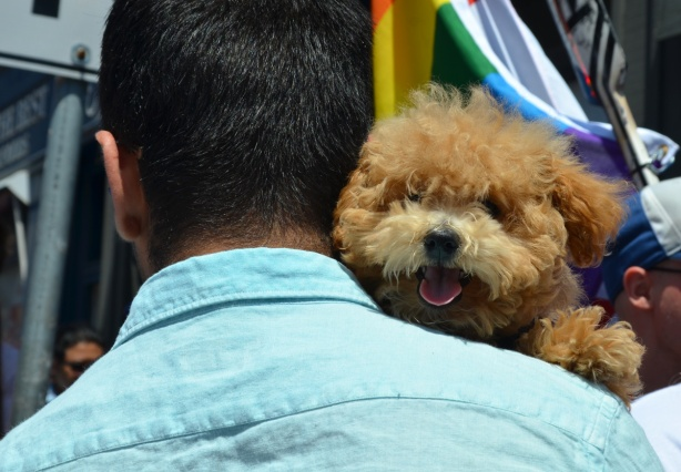 the face of a little brown furry dog peaks over a man's shoulder, mouth open, tongue out and looking happy