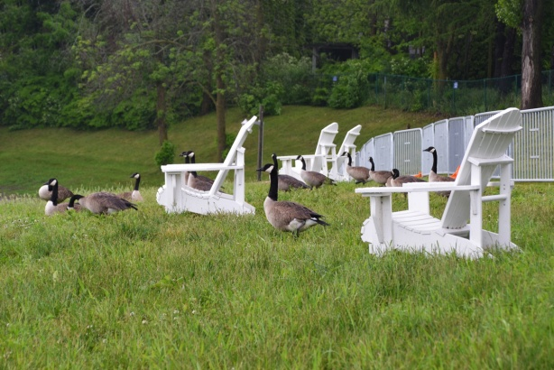 By Lake Ontario, a group of white Muskoka chairs in long grass with a lot of Canada Geese standing around them, metal barricades behind chairs and trees behind that