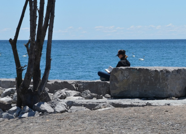 a person sits by rocks and a tree on the beach by Lake Ontario, reading a book, swans swimming past