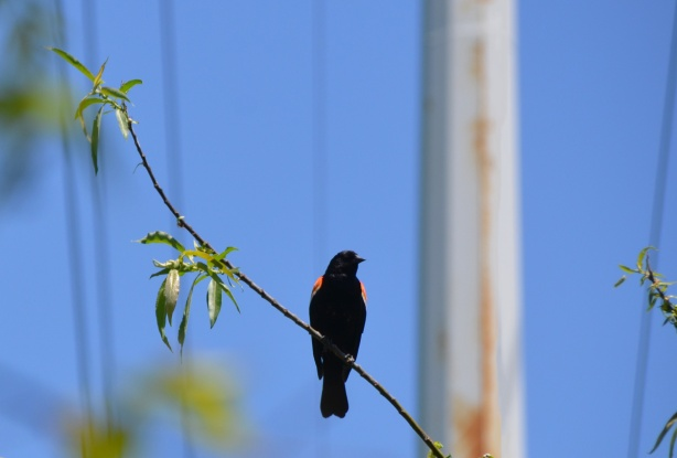 a red wing blackbird sits on a branch