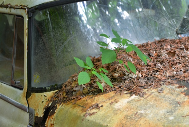 plants grow on the front of an old car
