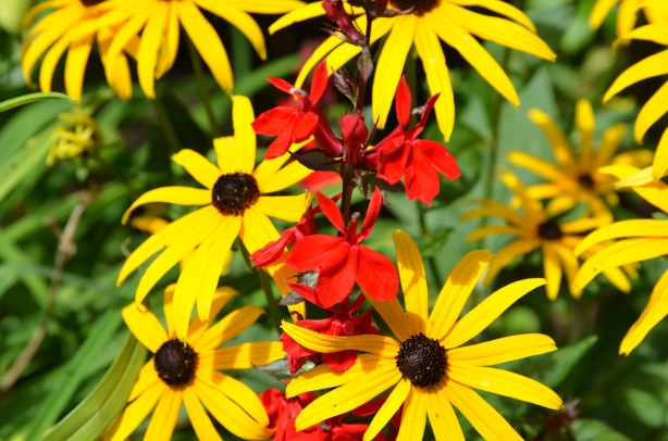 black eye susan flowers with their bright yellow petals and black centers. Growing amongst them is a stalk of bright red lobelius cardinalis.