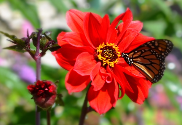 a bright red flower with a monarch butterfly on it