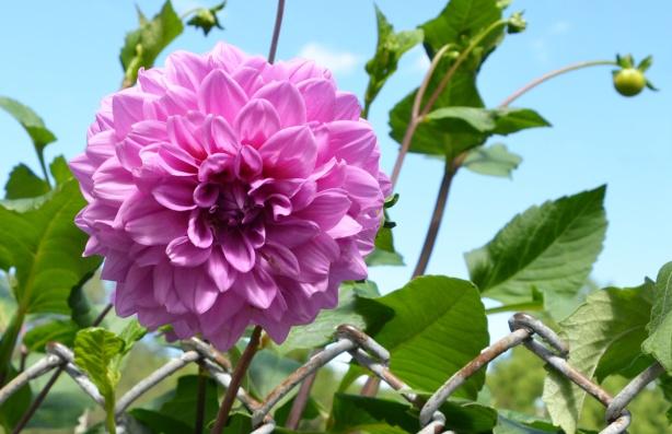 a pink zinnia