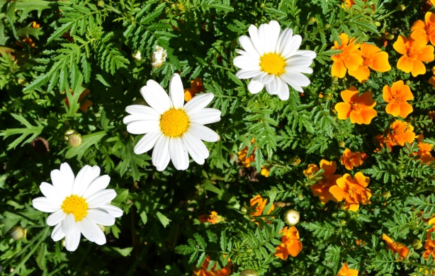 three white daisies among small orange flowers and lots of leaves